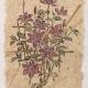 """woodblock print """"Clematis"""" on handmade paper by Ilse Buchert Nesbitt"""