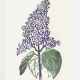 Lilac notecard - woodcut by Ilse Buchert Nesbitt