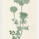 Queen Anne's Lace notecard - woodcut by Ilse Buchert Nesbitt