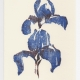 Two Iris notecard - woodcut by Ilse Buchert Nesbitt
